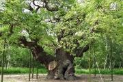 carvalho-gigante